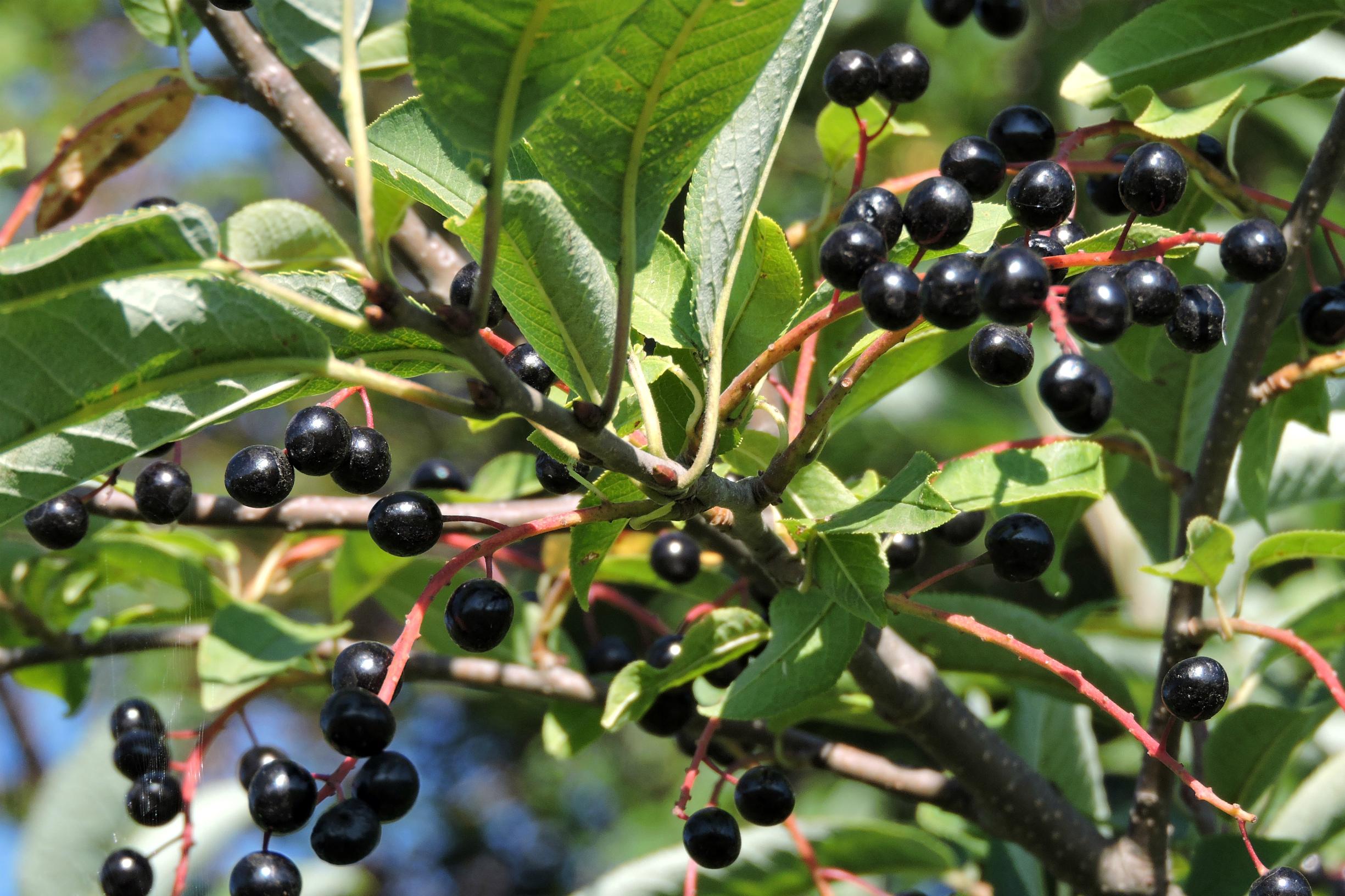 Чем полезны ягоды черемухи и как их употребляют в пищу